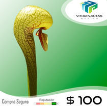 Carnívora Darlingtonia Californica Lirio Cobra Vitroplantas