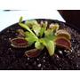 Plantas Carnivoras Venus Atrapamoscas Grande Dionaea