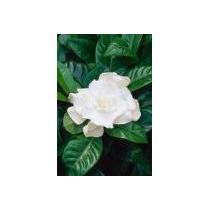 Gardenia, Jazmin Delcabo Ma8