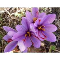 Azafrán. Crocus Sativus 5 Bulbos