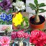 5 Rosas Del Desierto De 10 Cm. Tenemos Todos Los Colores