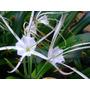 Planta Hymenocallis Litoralis - Lirio Araña 1 Bulbo