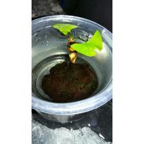 Bulbo De Nymphaea Planta Acuatica