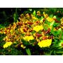 Venta De Orquídeas Oncidium Spacelatum