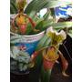 Orquidea Hibrida Paphiopedilum X Nitens