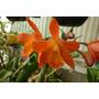 Orquidea Cattleya Hibrida Naranja(plantulas)