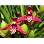 Venta De Orquídeas, Maxilaria Teneufolia (orquídea Coco)