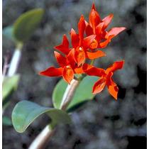 Venta De Orquídeas Cattleya Auriantaca