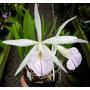 Venta De Orquídeas Brassocattleya Dogashima