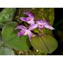 Venta De Orquídeas Meyracillium Trinasutum
