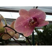 Orquidea Phalaenopsis Doble Planta En Floración Y Con Vara