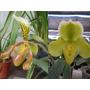 Orquideas Paphiopedilum Insigne Y P. Yellow Cypripedioideae
