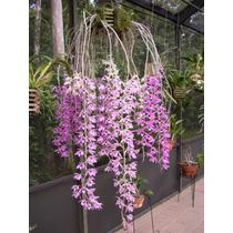 Orquideas (dendrobium Anosmum)
