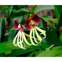 Venta De Orquídeas Prostechea Cochleata