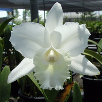 Venta De Orquídeas Cattleya Hawaiian Wedding Song