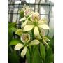 Venta De Orquídeas Prostechea Radiata