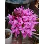 Orquidea Epidendrum Morado