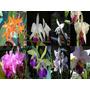 Orquideas Cattleya Lote De Plantas