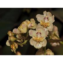 Venta De Orquídeas Trichocentrum Stramineum