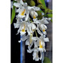 Venta De Orquídeas Coelogyne Cristata
