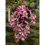 Venta De Orquídeas Oncidium Ornithorhynchum