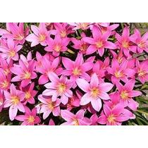 Bulbo De Lirio De Lluvia Rosa Flor Grande 2 Por $60