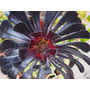Aeonium Canarensis (rosa Negra)