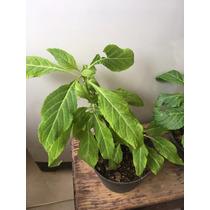 Plantas Vivas De Salvia Divinorum