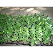 Plantulas De Rosa Del Desierto
