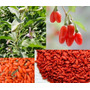 Goji Chino Berry Rojo Cinco Plantitas De Vivero Orgánico