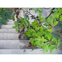 Roble Norteamericano Grande Para Jardin, Fotos Reales