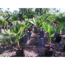 Palma Washingtonia!somos Productores Tallo40-49cm Tot.145cm
