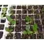 Te Verde Chino Plantas De Un Año Vivero Organico Autenticas