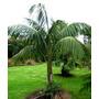 Palma Del Paraíso Kentia Howea Forsteriana