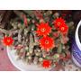 Cactus Decorativo Peanuts