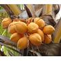 Palma Coco Malayo Enano Coco Amarillo De Malasia