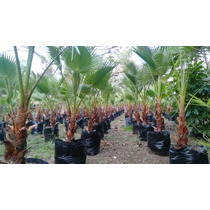 Palma Washingtonia!somos Productores Tallo30-39cm Tot.110cm