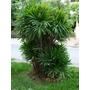 Palma Rapis Palmerita China Palma Bambú