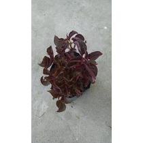 Planta Iresine. Hoja De Sangre (amaranto)