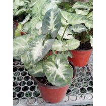 Planta Interior Singonio Maceta De 5 Pulgadas