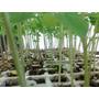 Charolita Con 10 Plantitas De Moringa