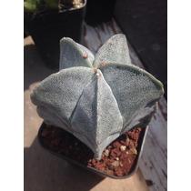 Cactus Exotico Astrophytum Myriostigma Grande