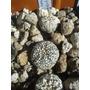 Paquete De Cactus Astrophytum Super Kabuto + Quadricostatum