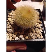 Cactus Exótico Parodia Haselbergii