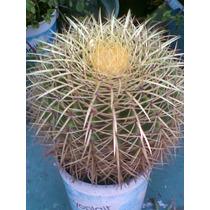 Cactus Decorativo Dorado