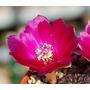 Cactus Exótico Sulcorebutia Rauschii Violacidermu