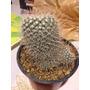 Cactus Exótico Mammillaria Geminispina Var. Nobile