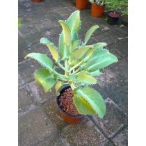 Planta Kalanchoe Laetivirens ( Suculentas )