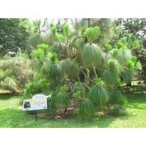 1 Lb Aprox. 11800 Semillas Pinus Devoniana - Pino Michoacano
