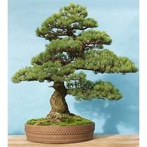 10 Semillas De Pinus Parviflora - Pino Blanco Codigo 945